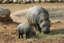 Pygmy Hippo With Baby
