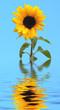 Leinwandbild Motiv sunfower
