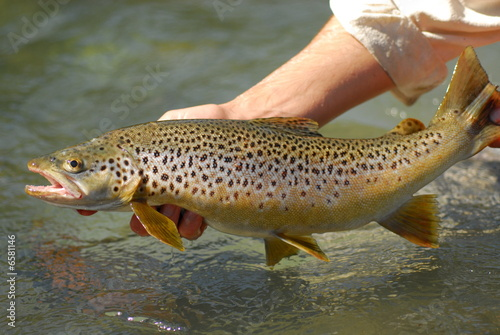 Brown trout Wallpaper Mural