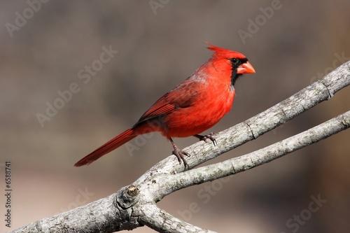 Photo  Big Red