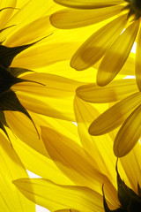 FototapetaYellow flowers background