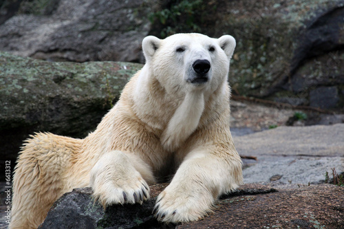 White polar bear portrait