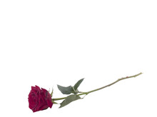 Single Rose On Long Stem With ...