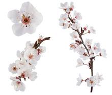 Plum-tree Flowers. Design Elem...