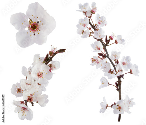 Plum-tree flowers. Design elements isolated on white.