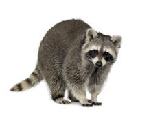 Raccoon (9 Months) -  Procyon ...