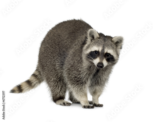 Photo raccoon (9 months) -  Procyon lotor