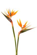 Bird Of Paradise Flower (Strelitzia Reginae) Isolated On White B