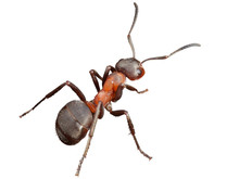 Ant Isoiated