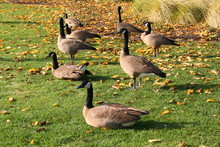 Pack Of Canadian Geese