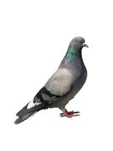Pigeon. One Grey Pigeon