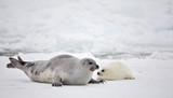 Happy mother harp seal cow and newborn pup on ice - 6861768