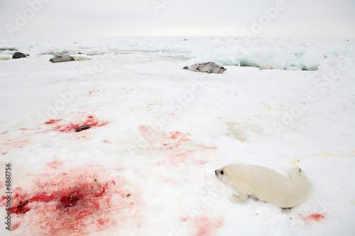 Fototapeta premium Baby harp seal pup on ice