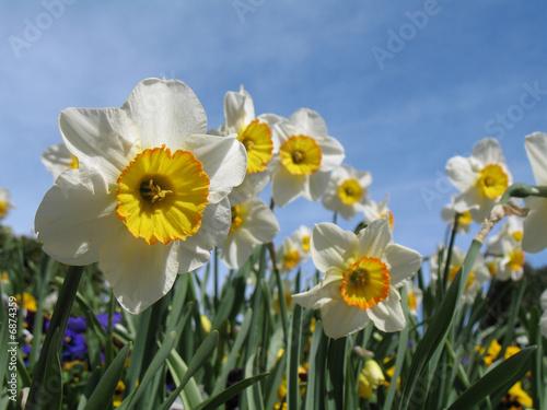 Papiers peints Narcisse Macro jonquilles