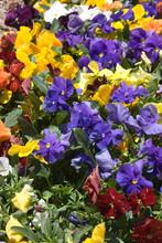 Colorful Viola Flowers
