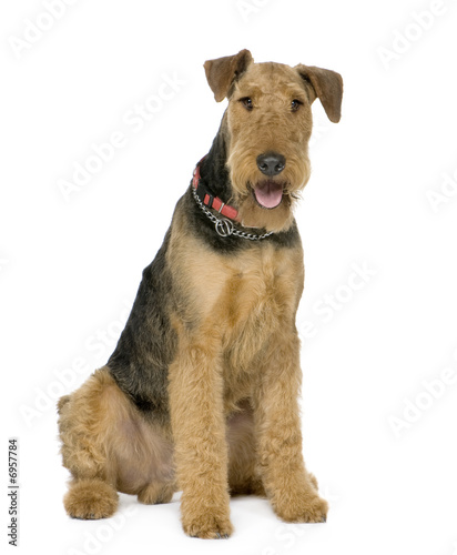 Airedale Terrier (1 year) Wallpaper Mural