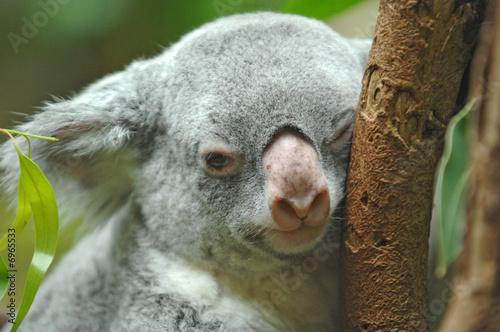 Garden Poster Koala Koalabär beim Dösen
