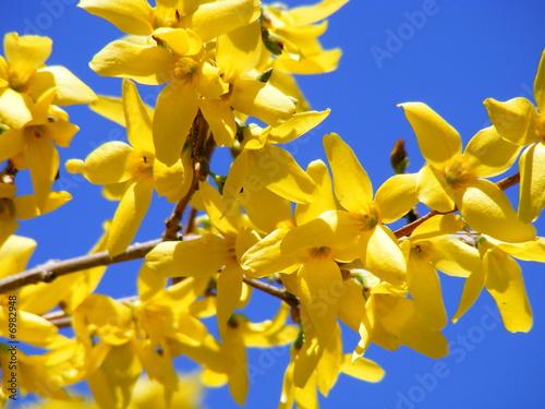 Fotografie, Obraz Forysthia Flowers