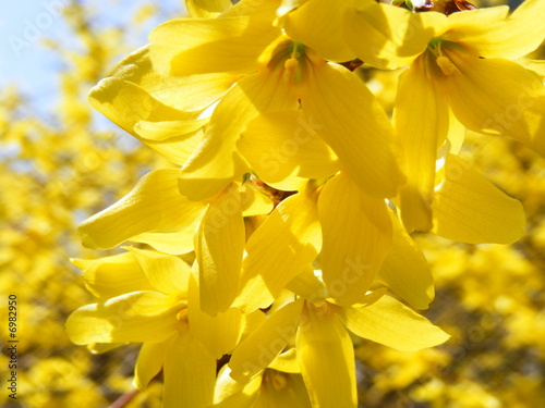 Forsythia Bush Canvas Print