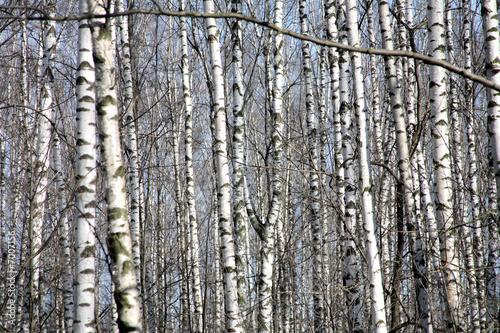 Deurstickers Berkbosje Birch forest