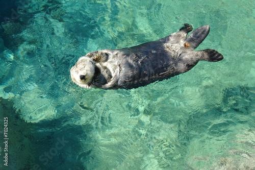 Naklejka premium sea otter