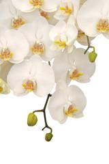 Fototapeta Hanging white orchid