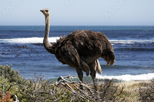southern ostrich struthio camelus Fototapet