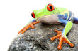 canvas print picture frog on a rock isolated