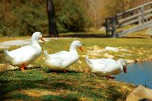 Aylesbury Ducks Walk To Pond