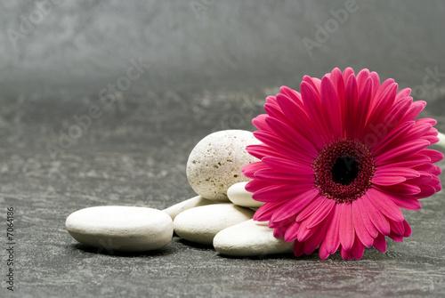 Foto op Canvas Gerbera Gerbera pink