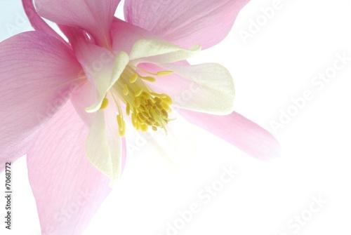 Photographie pink aquilegia