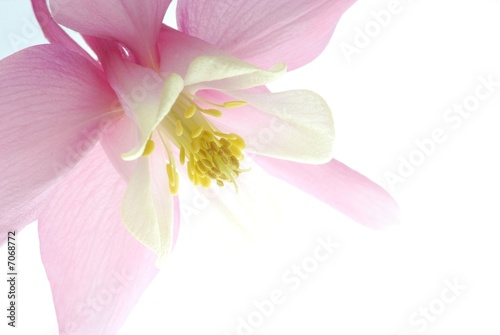 Slika na platnu pink aquilegia
