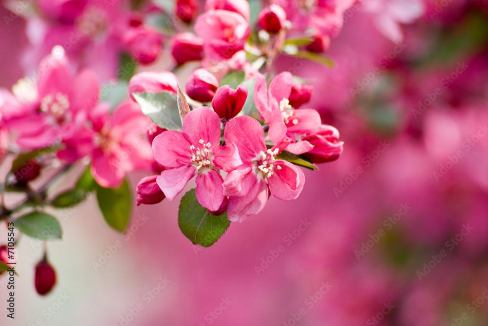 Fototapeta Crabapple Blossom 1