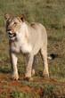 canvas print picture female lion