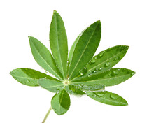 Young Lupin Leaf With Waterdrops, Isolated