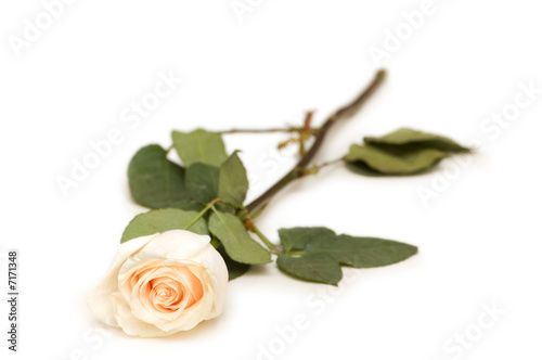 Fototapeta Single rose isolated on the white background obraz na płótnie
