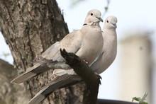 Turtle-doves On Tree