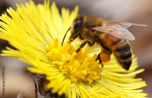 Fotografie, Obraz  Native Honey Bee
