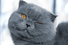 Scottish Fold Cat Is Smiling A...