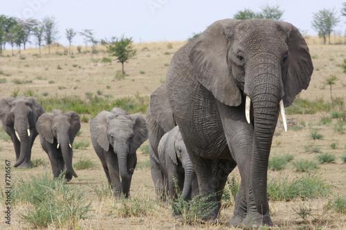 Foto op Aluminium Olifant African Elephants
