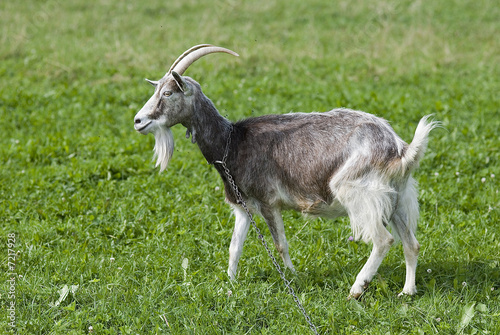 Fotografie, Obraz  Goat on a meadow