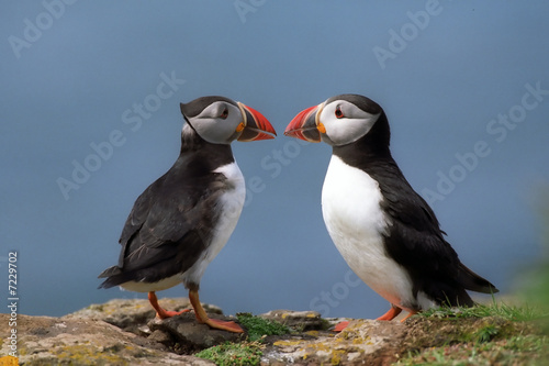 Two puffins Fototapet