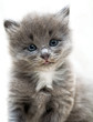 canvas print picture Nice grey kitten