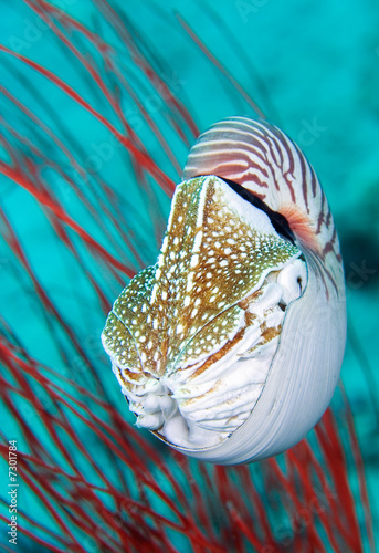 Valokuva  Nautilus Shell