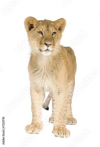 Poster Puma Lion cub (8 months)