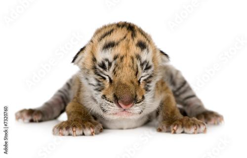 In de dag Tijger Tiger cub (4 days)