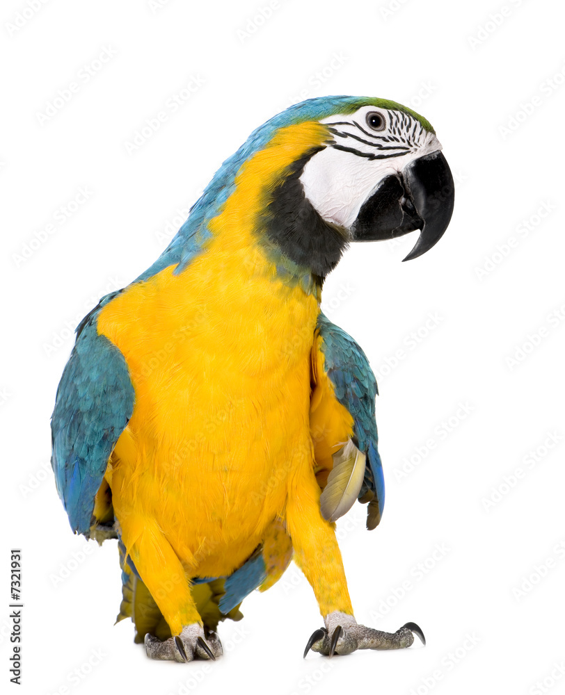 Papier Peint Avec Perroquet papiers peints young blue-and-yellow macaw - ara ararauna (8