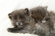 canvas print picture Two nice grey kittens