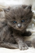canvas print picture Angry grey kitten