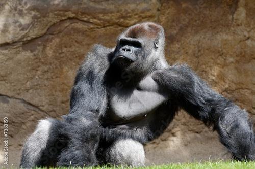 Gorille Tapéta, Fotótapéta